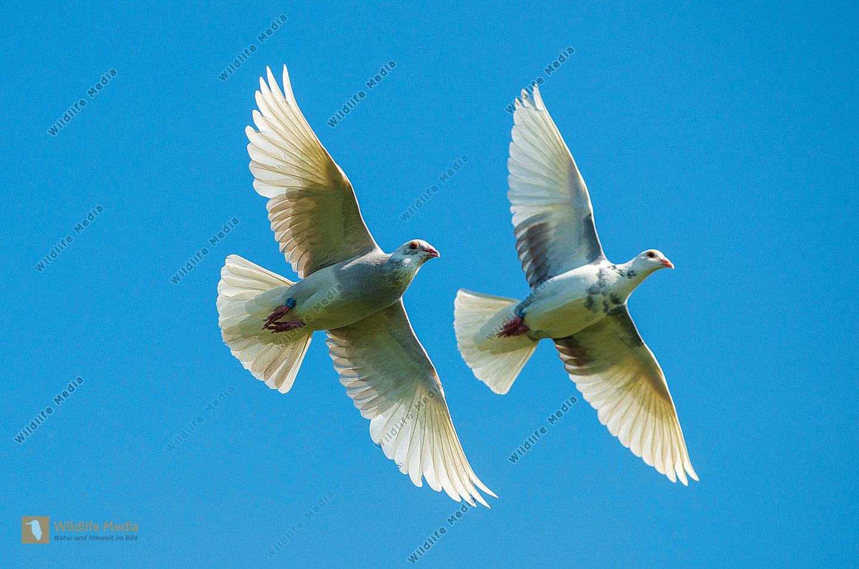 Haustauben Columbidae im Flug