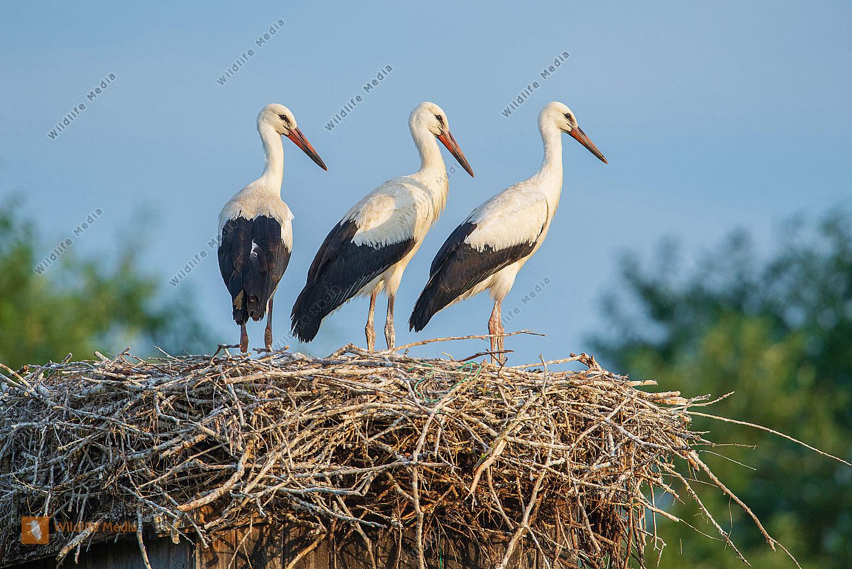 Junge Weißstörche Ciconia ciconia im Nest