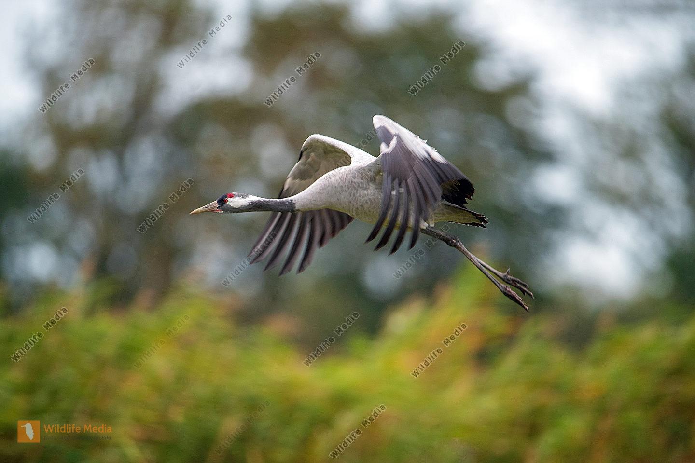 Fliegender Kraniche Grus grus im Herbst