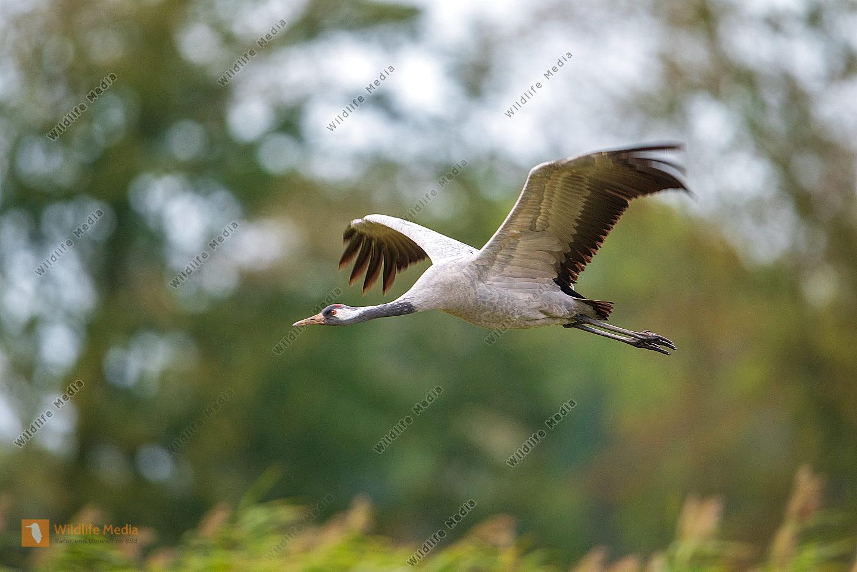 Fliegender Kranich Grus grus im Herbst