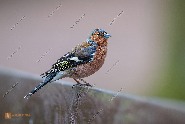 Buchfink Frigilla coelebs Männchen