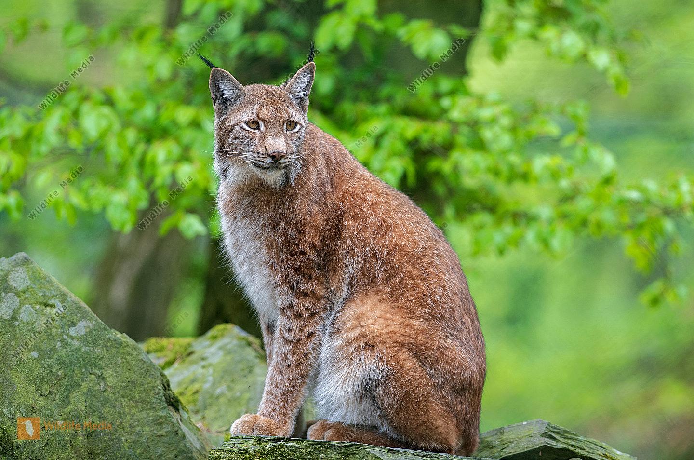 Eurasischer Luchs Lynx lynx auf einem Felsen