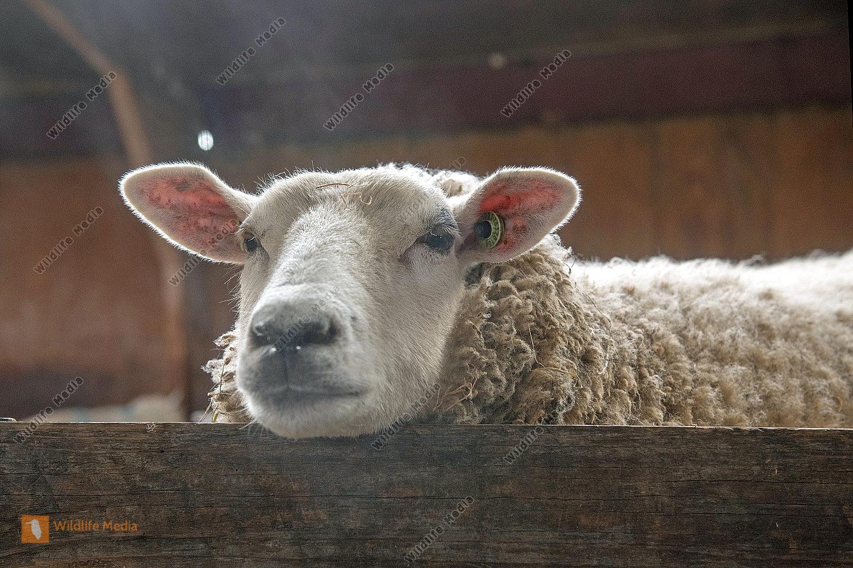 Texelschaf Ovis aries im Stall