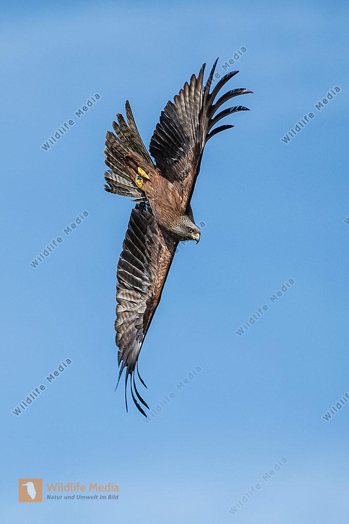 Schwarzmilan Milvus migrans im Sturzflug Hochformat