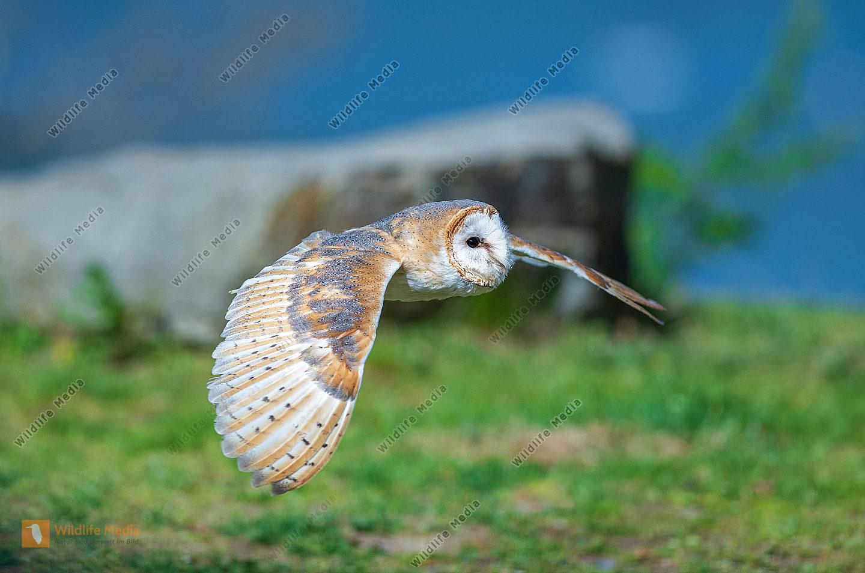 Schleiereule Tyto alba im Flug
