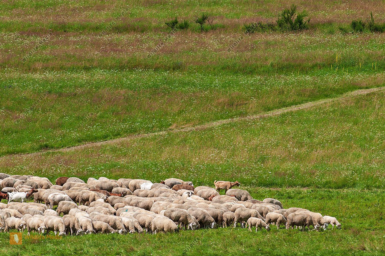 Schafherde Ovis aries auf der Sommerweide