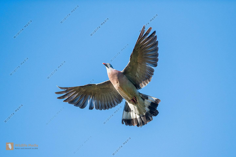Ringeltaube Columba palumbus im Flug