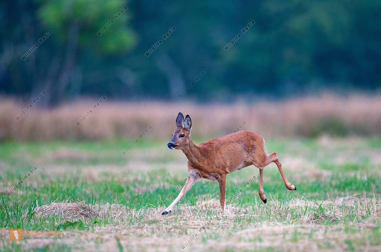 Reh Capreolus capreolus weiblich auf Flucht