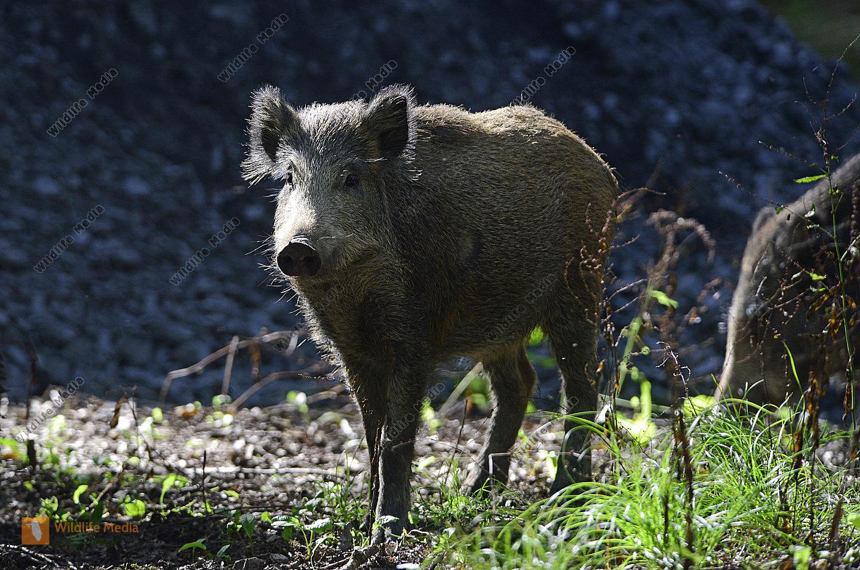 Wildschwein Sus scrofa im Sommer