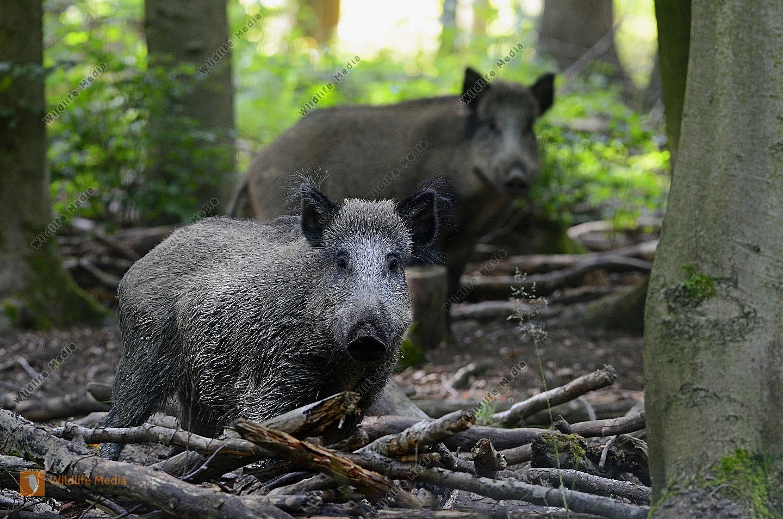 Wildschweine Sus scrofa im Wald