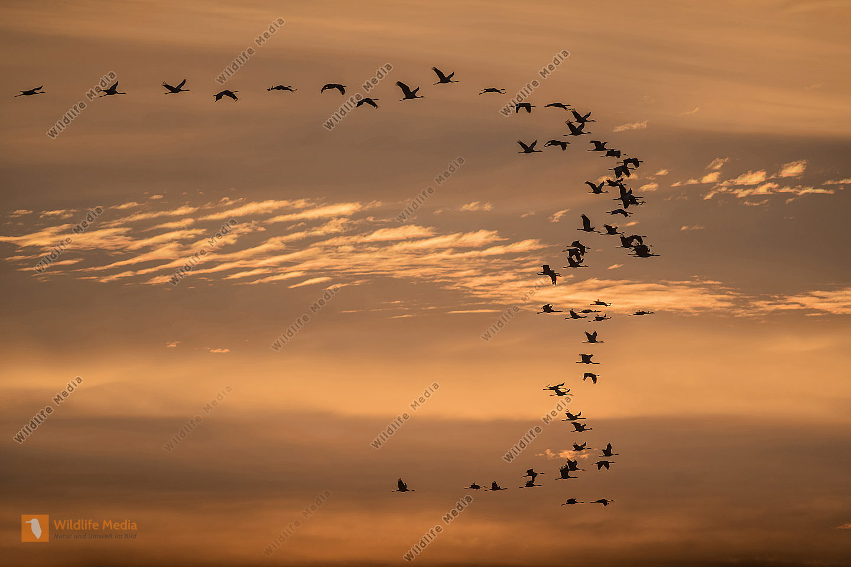 Ziehende Kraniche Grus grus im Morgenrot