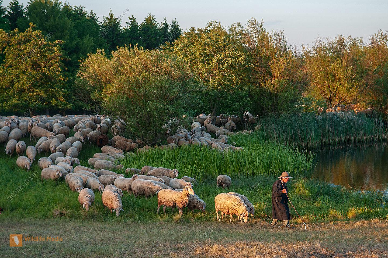 Ziehende Schafherde Ovis aries mit Schäfer am Abend