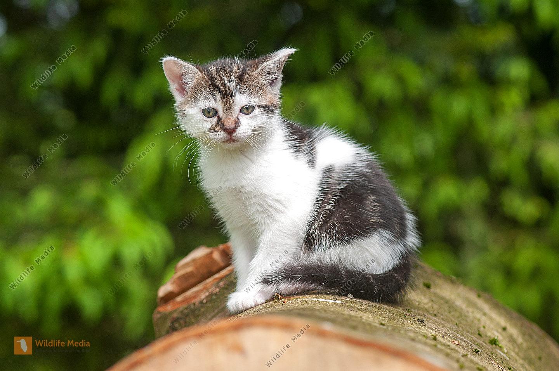 Junge Hauskatze Felis silvestris catus auf Baumstamm