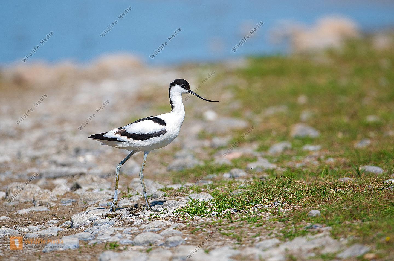 Säbelschnäbler Recurvirostra avosetta