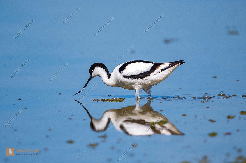 Säbelschnäbler Recurvirostra avosetta bei der Futtersuche