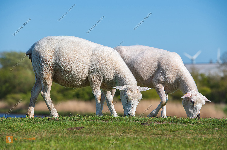 Texelschaf Ovis aries auf dem Deich/Fehmarn