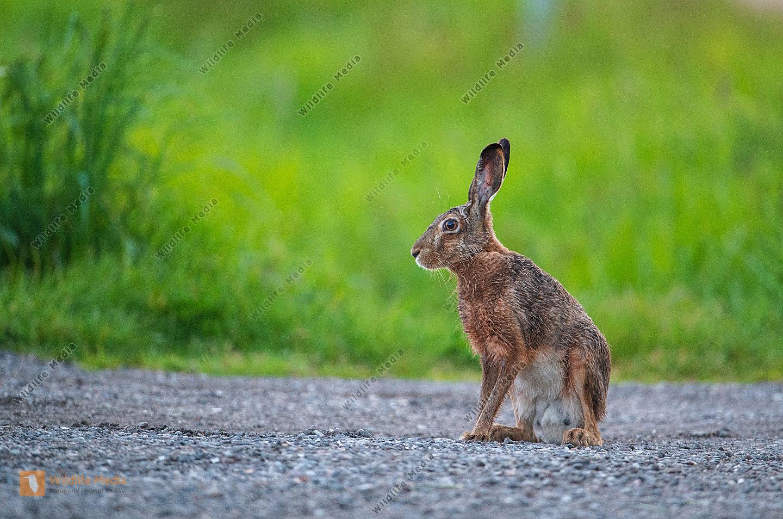 Sichernder Feldhase Lepus europaeus im Sommer