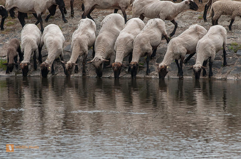 Schwarzkopfschafe Ovis aries am Fluss