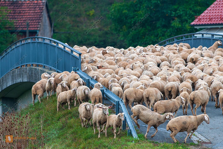 Schafherde Ovis aries zieht über eine Brücke