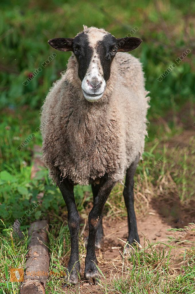 Swartbless Mutterschaf Ovis aries