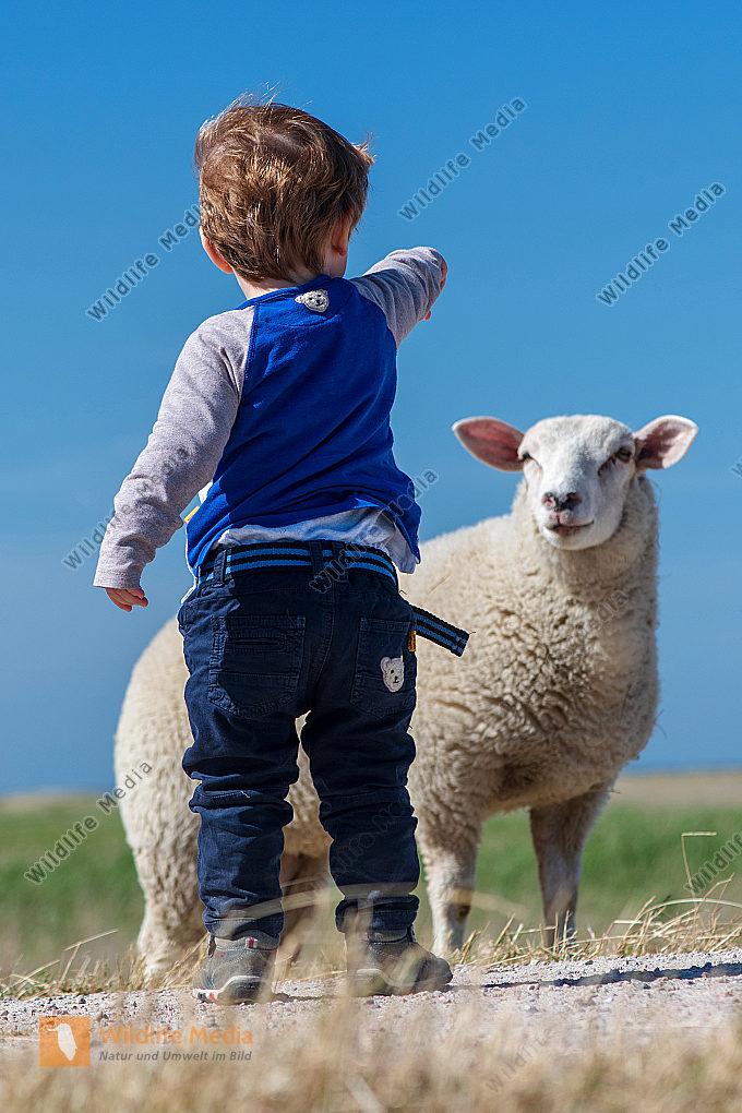 Junge mit Schaf Ovis aries