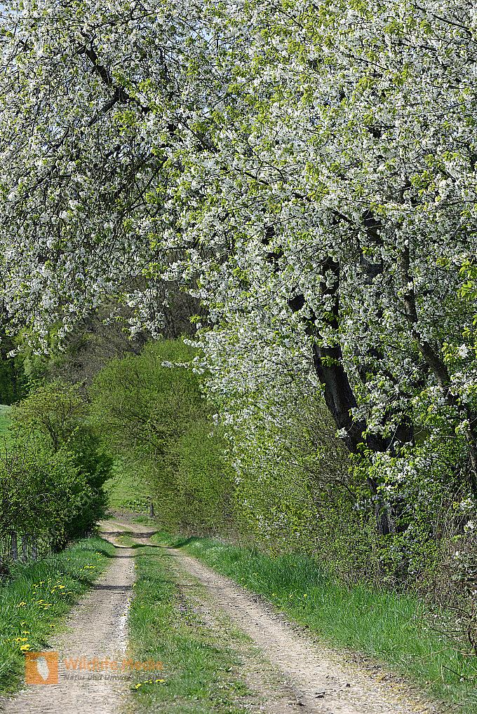 Feldweg im Frühling Hochformat