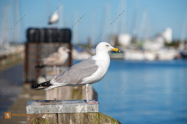 Silbermöwe Larus argentatus im Hafen