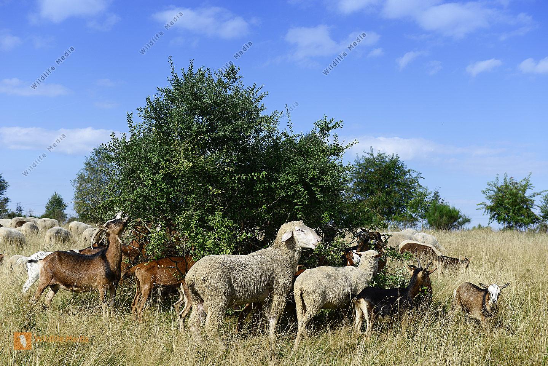 Merinoschafe Ovis aries und Ziegen Capra auf der Weide