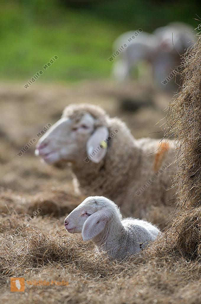 Merinomutterschaf Ovis aries mit Lamm
