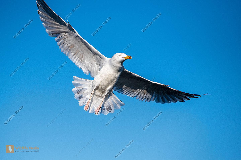 Silbermöwe Larus argentatus im Flug