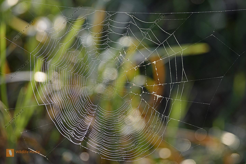 Spinnwebe im Morgentau im Gegenlicht