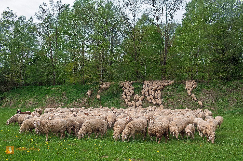 Schafherde Ovis aries im Frühling