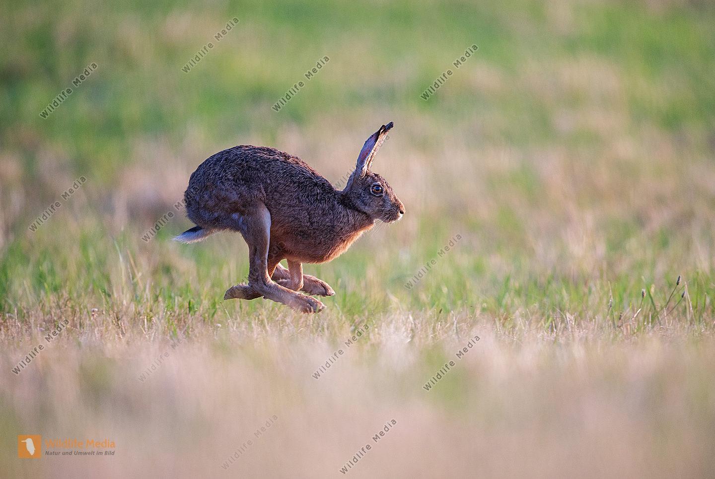 Flüchtender Feldhase Lepus europaeus im Sommer