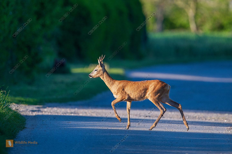 Rehbock Capreolus capreolus überquert Straße