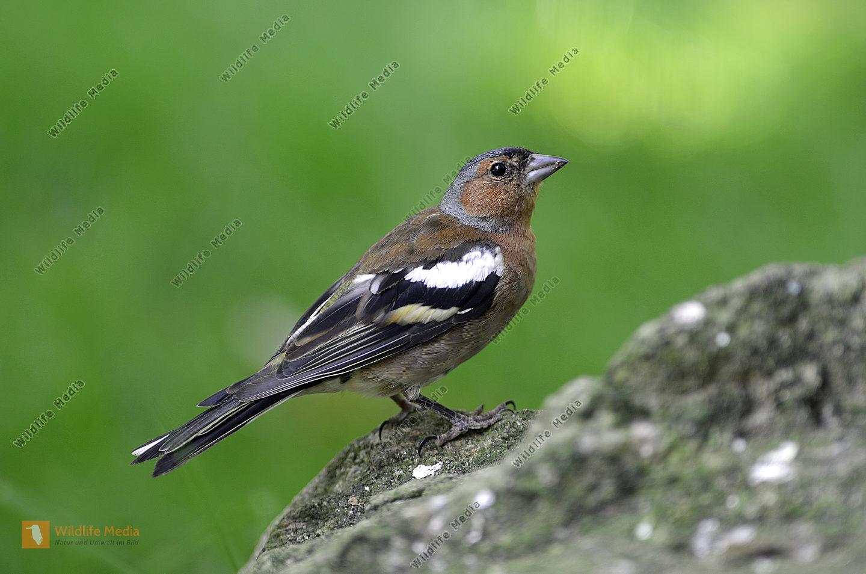 Buchfink Fringilla coelebs Männchen