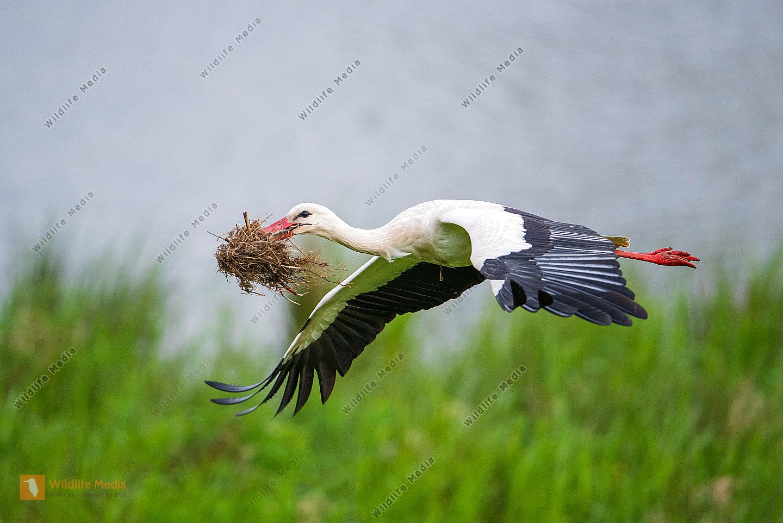 Weißstorch Ciconia ciconia beim Nestbau