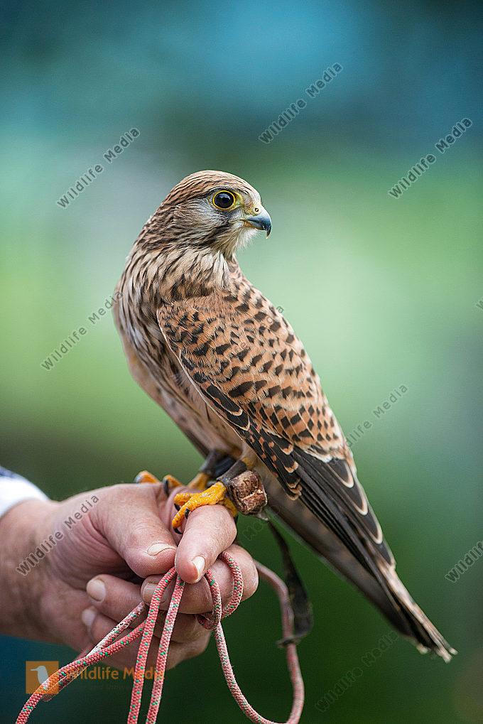 Turmfalkenweibchen Falco tinnunculus auf der Hand des Falkners