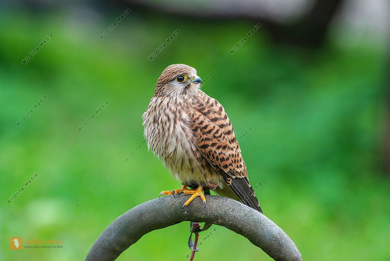 Turmfalke Weibchen Falco tinnuniculus in einer Falknerei