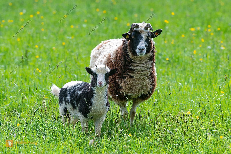 Jacobsmutterschaf mit Lamm Ovis aries auf der Weide