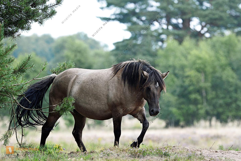 Dülmener Wildpferd Epuus caballus auf der Weide