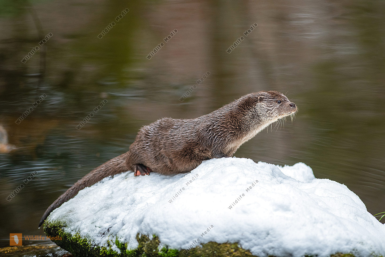 Fischotter Lutra lutra im Winter