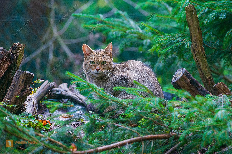 Wildkatze Felis silvestris silvestris