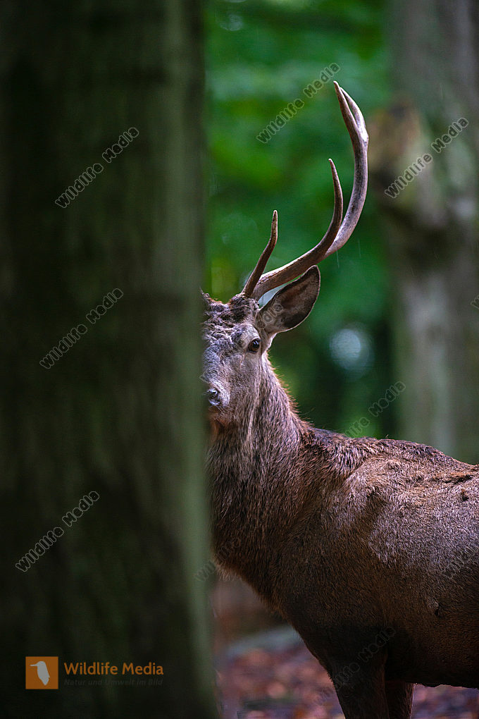 Rothirsch Cervus elaphus im Wald
