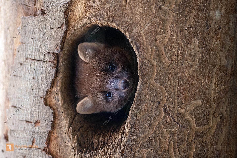 Baummarder Martes martes blickt aus einer Baumhöhle