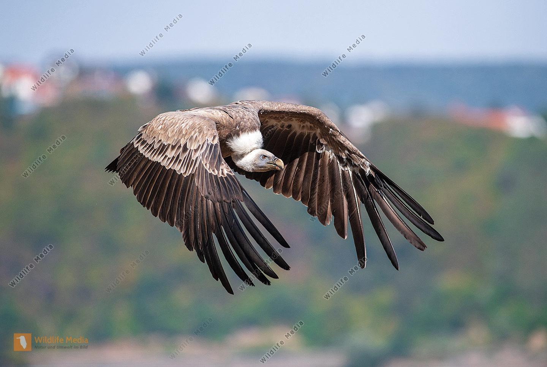 Gänsegeier Gyps fulvus im Flug