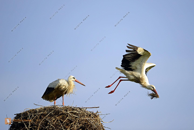 Weißstörche Ciconia ciconia beim Nestbau