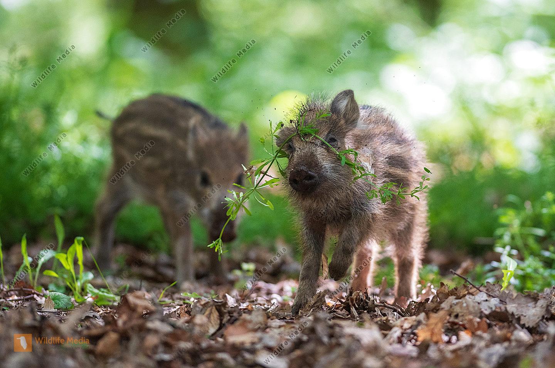Junges Wildschwein Sus scrofa Frischling mit Klettengewächs