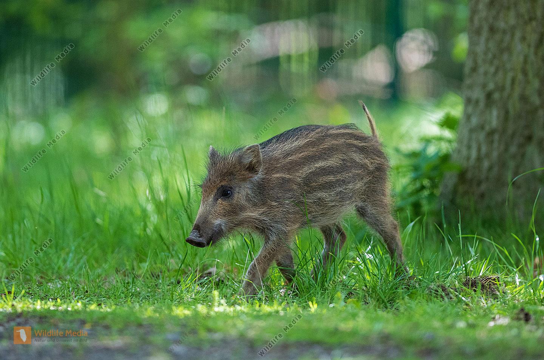 Junges Wildschwein Sus scrofa Frischling