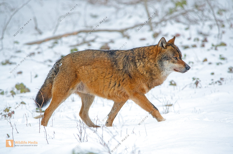 Europäischer Wolf Canis lupus im Winter