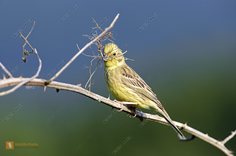 Goldammer Muscicapa striata beim Nestbau